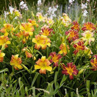 Hemerocallis Everydaylily® Border Bicolor