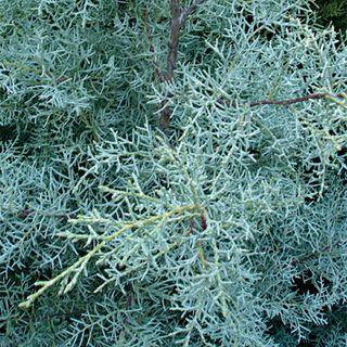 Blue Pyramid Arizona Cypress