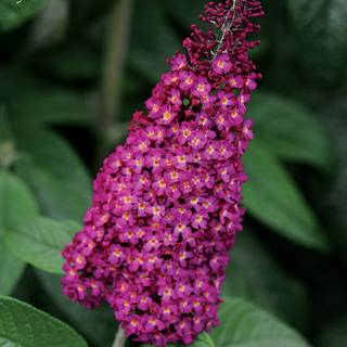 Buddleia CranRazz