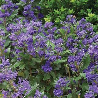Caryopteris Grand Bleu®