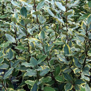 Olive Martini™ Elaeagnus