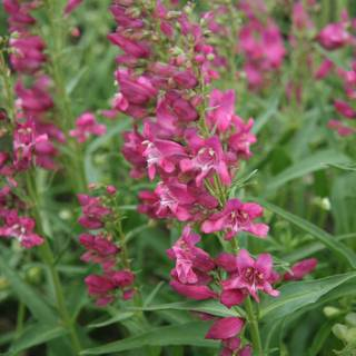 Penstemon barbatus Rock Candy Series Pink