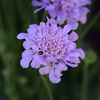 Scabiosa columbaria Flutter Series Deep Blue