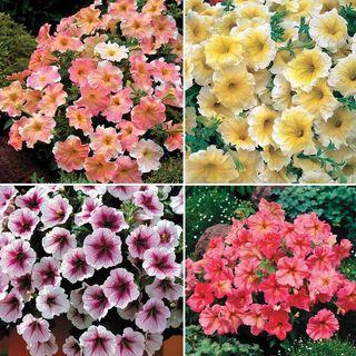 Pastel Petunia Collection