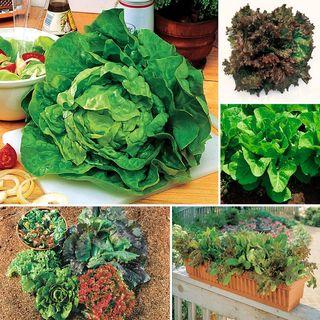 Best Lettuce Collection