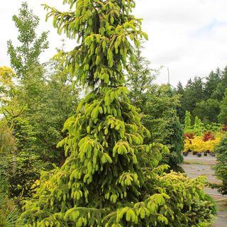 Picea Aurea Jakobsen