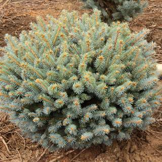 Picea Globosa