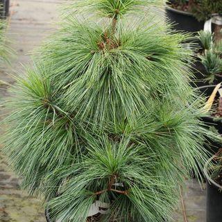 Pinus Wiethorst