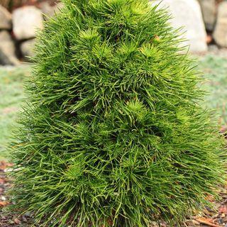 Pinus Green Penguin