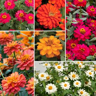 Profusion Double Flower Collection