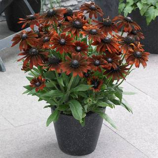 Echibeckia™ Summerina® Brown