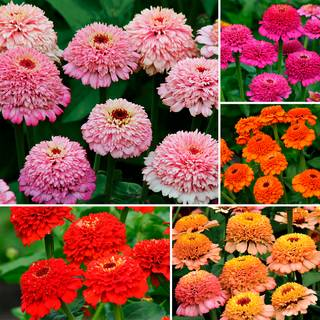 Parks Zinderella Zinnia Seed Collection
