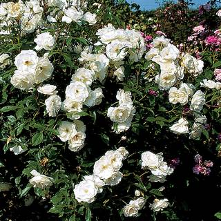Iceberg Shrub Rose