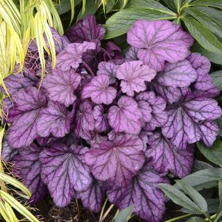Heuchera Primo™ Wild Rose