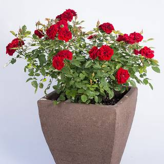 Red Sunblaze® Miniature Rose