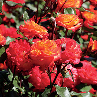 Charisma Floribunda Rose