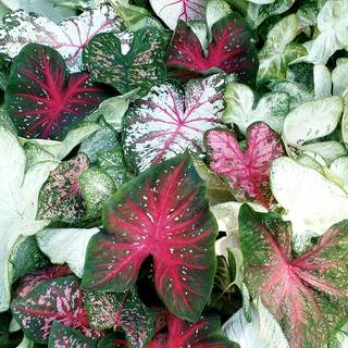 Sun-Tolerant Caladium Mix (pack of 5)