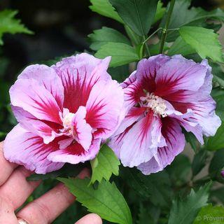 Hibiscus Purple Pillar®
