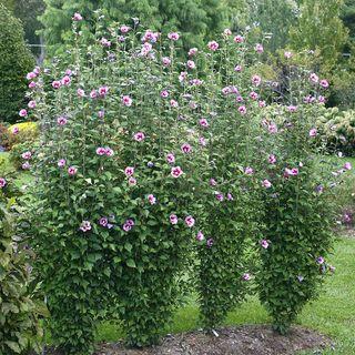 Hibiscus Purple Pillar® Image