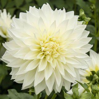 Fleurel Dahlia