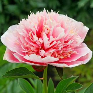 Etched Salmon Peony