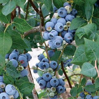 Sweetheart Blueberry