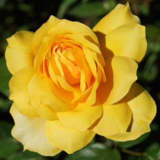 Gold Glow Hybrid Tea Rose