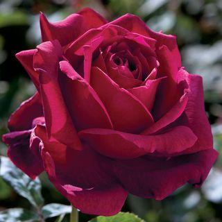 Oklahoma Hybrid Tea Rose