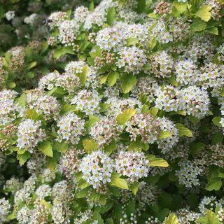 Physocarpus Raspberry Lemonade™