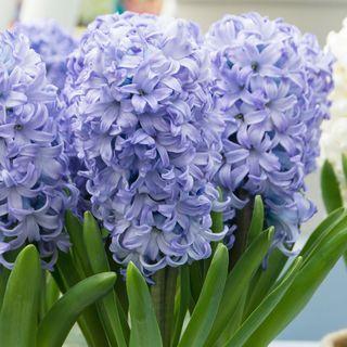 Hyacinth Chicago