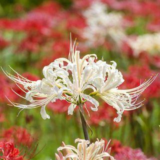 Lycoris albiflora