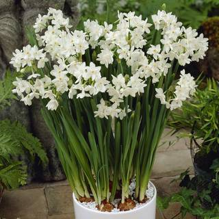 Narcissus Super Paper White