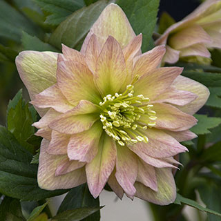 Helleborus Wedding Party® Mother of the Bride