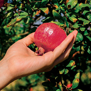 Punica Parfianka Pomegranate