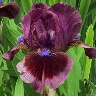 Iris germanica Cats Eye