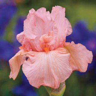 Iris germanica Pink Attraction