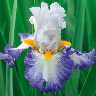 Iris germanica Brilliant Idea