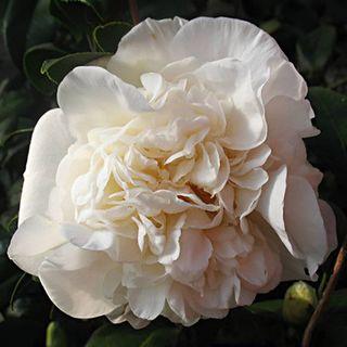 Camellia japonica Fifth Avenue