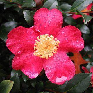 Camellia sasanqua Yule Tide