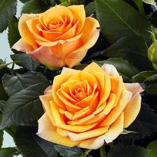 Rose Fahra