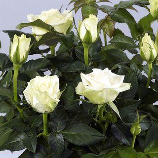 Rose Honora