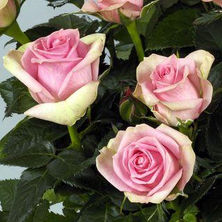 Rose Nova