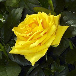 Rose Silvia 2008