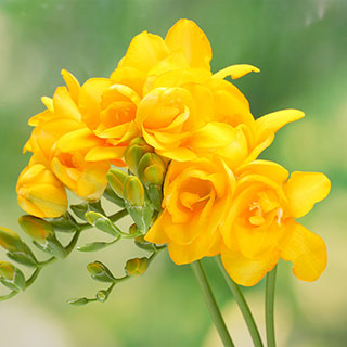 Freesia Texas