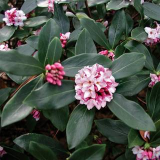 Daphne odora Greenleaf Pink
