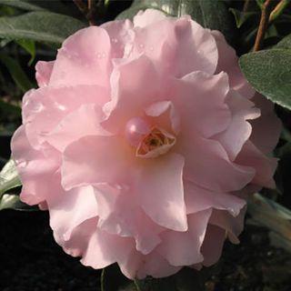 Camellia Button n Bows