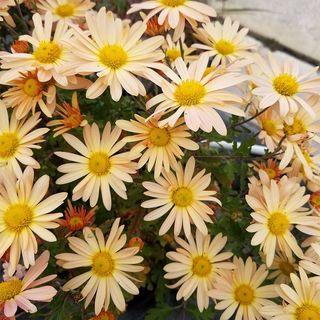 Chrysanthemum Brandywine Sunset