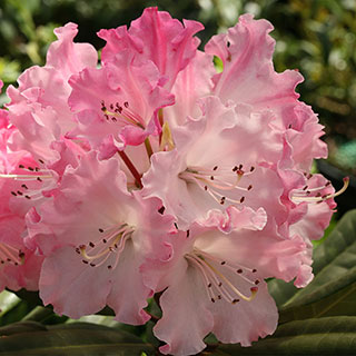 Rhododendron Dandy Man Color Wheel™