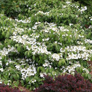 Viburnum plicatum tomentosum Wabi-Sabi®