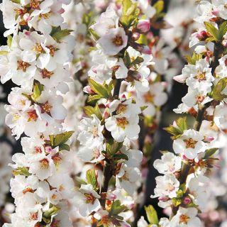 Prunus Nanking Cherry